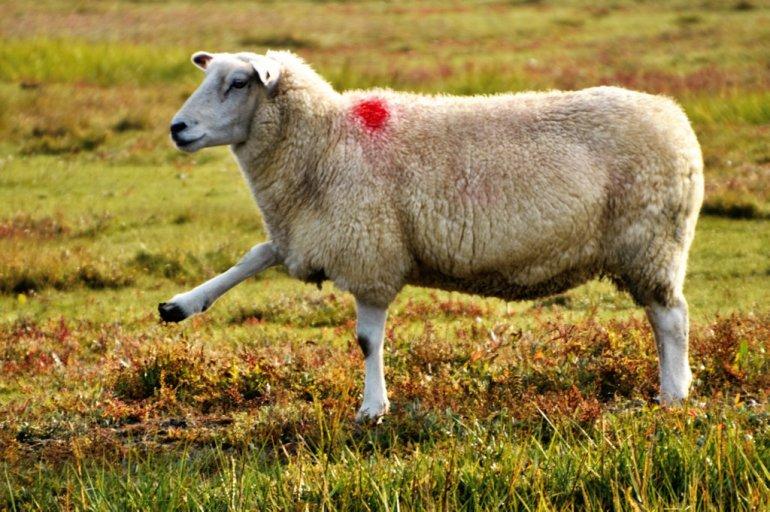 Schafe winken uns gemütlich zu