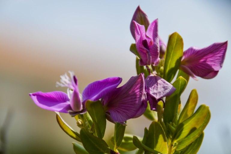 Farbkleckse - Die lila Dorfschönheit