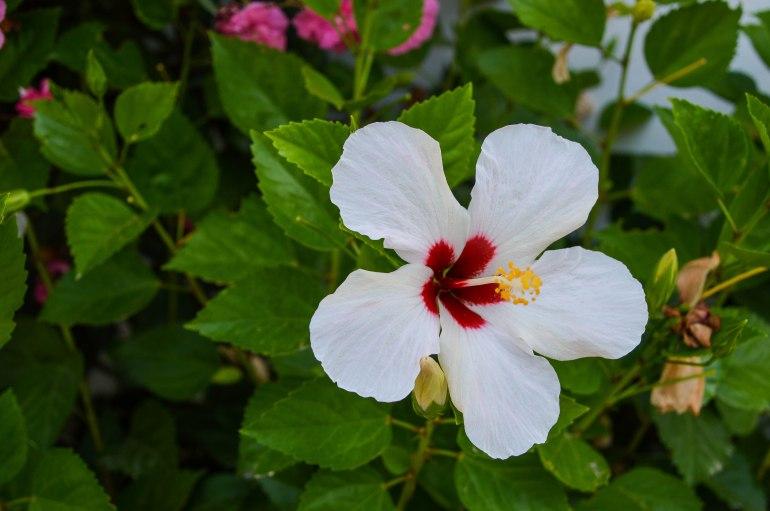 Mallorca - Hibiscus